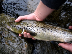 "22"" Landlock Salmon. Maine"